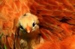 Aracauna Chick 3